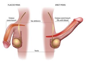 förlänga penisen